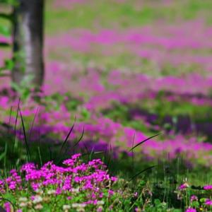 基地批发 红花酢浆草 品种齐全 成活率高 耐寒地被