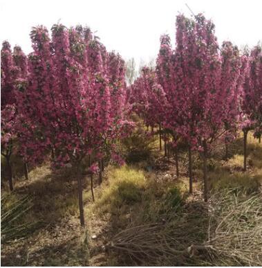 苗木基地销售北美海棠树苗批发价 根系发达北美海棠 量大优惠