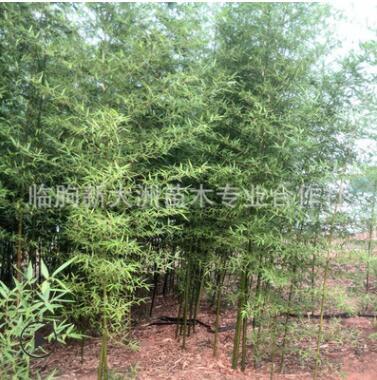 园林植物批发 竹子 庭院绿化 竹子苗 室内 小型庭院用竹直销