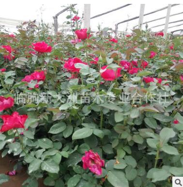 月季 多年生 植物批发 红帽月季 灌木花期长 品种好花色鲜艳