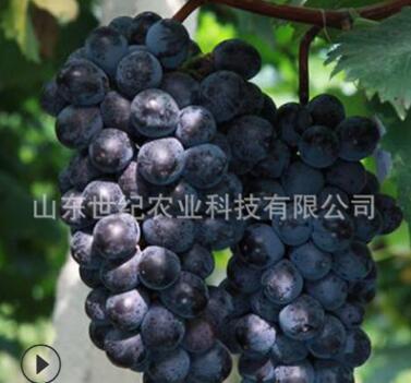 巨峰葡萄树苖当年结果葡萄大果树果苗北南方种植树爬藤苗盆栽地栽