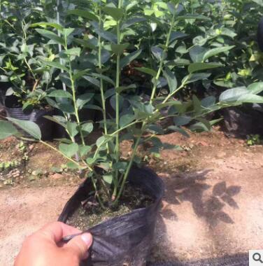 基地直销伊丽莎白兔眼蓝莓苗 带果南方北方种植盆栽庭院蓝莓苗