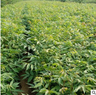 出售味道鲜美规格齐全地栽香椿树苗 可南北方种植优质香椿树