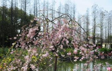基地直销榆叶梅 红梅 美人梅 绿梅 垂梅 珍珠梅 红梅盆栽耐寒
