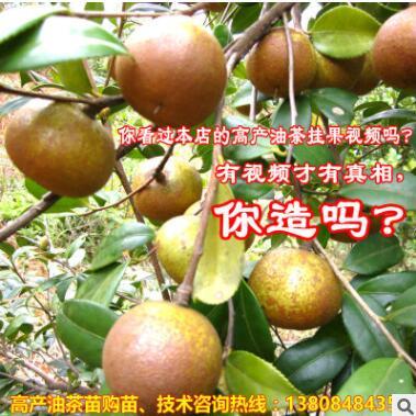 山茶油树苗 国家主栽优良油茶苗新品种湘林69号长林油茶苗