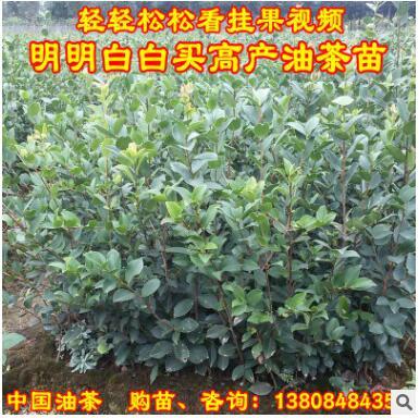 高产嫁接油茶树苗中大果长林湘林系良种山茶苗木容器基质营养杯苗