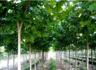 法国梧桐苗速生法桐树小苗悬铃木基地直销 工程绿化苗木成活率高