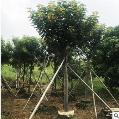 黄花槐树从生黄花槐 绿化工程苗 大量销售 开花乔木 自产自销