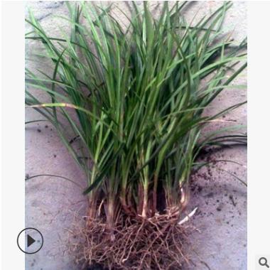 细叶麦冬 阔叶麦冬 矮麦冬 萧山基地直销 大量批发 各种 绿化工程