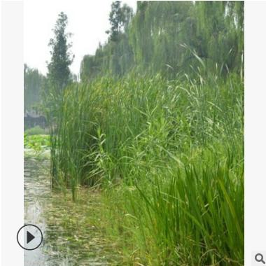 基地供应 水生芦苇 萧山基地 水生植物 绿化工程 各种规格 批发