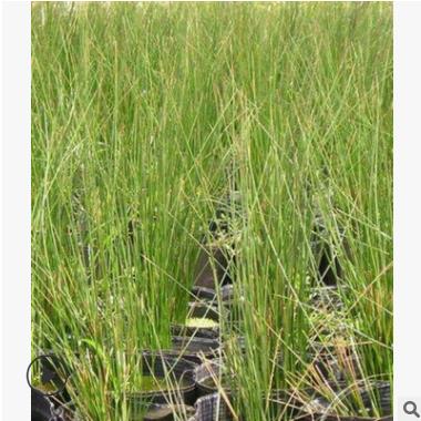 灯芯草 水葱 菖蒲 水生植物 绿化工程 萧山基地直销 大量批发