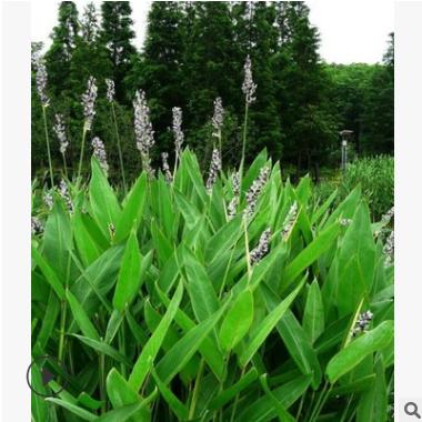 梭鱼草 金鱼藻 狐尾藻 萧山各种水生植物 水质净化工程大量批发