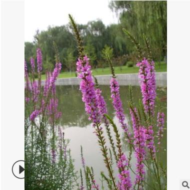 基地供应 红花千屈菜 杭州萧山 基地直销 各种水生植物 绿化工程