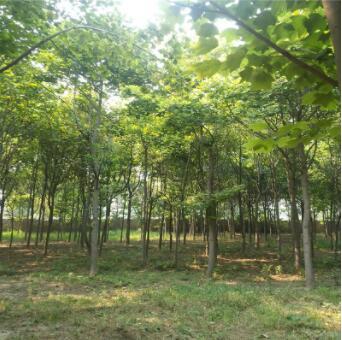 出售园林工程绿化苗木鹅掌楸又名马褂木直供
