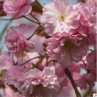 美人梅 江苏优质园林观赏植物美人梅 花多 树型饱满 苗圃直销