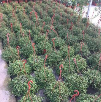 千叶吊兰绿植盆栽室内阳台垂吊植物纽扣藤 铁丝草 电线千叶兰盆栽