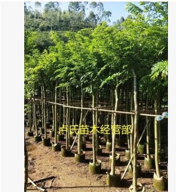 产地供 海南黄花梨树苗木 黄花梨树苗 绿化苗木乔木园林植物量大