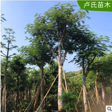 供应全国直销凤凰木 自家苗一手货源 价格优惠