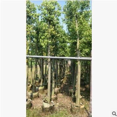 大量供应绿化苗木天竺桂 阴香 农户自家种植一手货源销售
