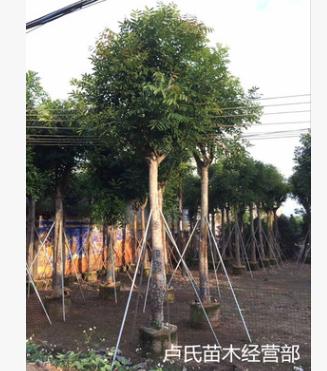 【热销】桃花心木/绿化苗木/移植/假植木5-30公分普宁本地产地直