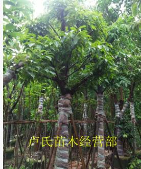 供应大叶榕 黄葛榕 大量批发 园林景观工程供应规格齐全