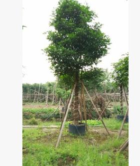 苗圃直销秋枫 大型观叶易种植苗木