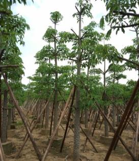 木棉 袋苗 市政绿化工程苗 攀枝花 中山花木基地直销