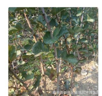 山楂树苗价低纯正大棉球山楂树 高产现挖现卖优质大金星山楂树苗