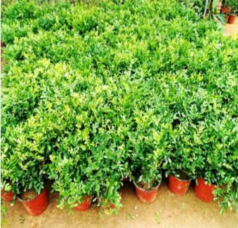 四季常青九里香盆栽盆景办公室内阳台桌面开花庭院浓香绿植花卉