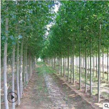 毛白杨批发 工程绿化苗木白杨树苗 基地直销速生白杨小苗