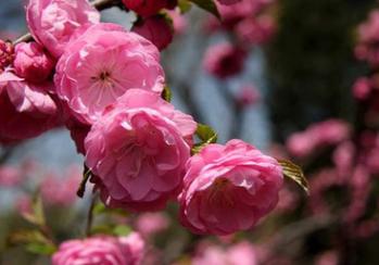 苗圃基地直销榆叶梅 庭院绿化植物花满枝条 重瓣榆叶梅小苗