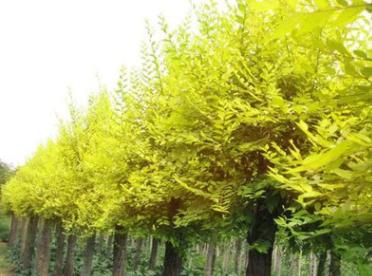批发金叶榆小苗工程绿化苗木金叶榆树苗彩叶树木行道树厂家
