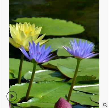 凤眼莲 基地直销 睡莲 凤眼莲 等各种水生植物 大量批发 价格优惠