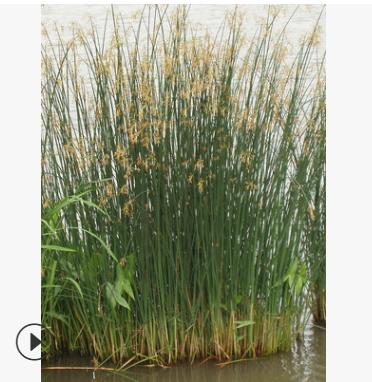 基地批发 水葱 花叶芦竹 水生植物 绿化工程 基地直销 大量批发