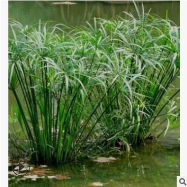 苗圃供应 旱伞草 萧山 圃直销 时令花卉 水生植物 绿化 大量批发