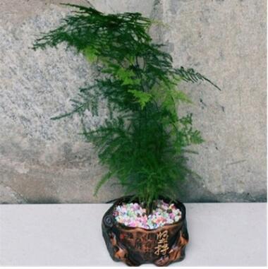 文竹盆栽 迷你小文竹绿色植物 桌面净化空气 观叶 室内花卉盆景
