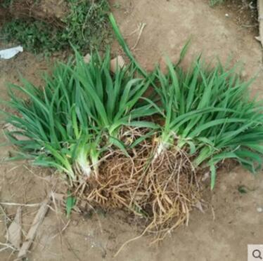 盆栽植物大花萱草 金娃娃萱草种根 盆栽绿色地被宿根花卉萱草
