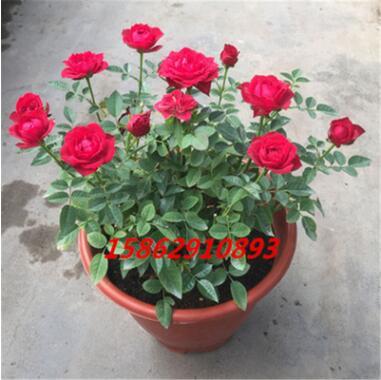 月季欧月盆栽微型玫瑰盆栽花苗欧月王妃绿植花苗蔷薇苗蔷薇盆栽