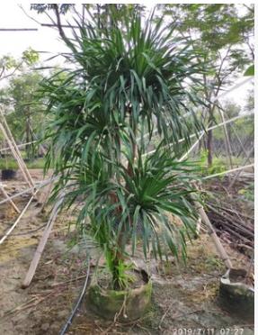 大型绿植盆栽造型龙血树高250-300cm步步高基地直销