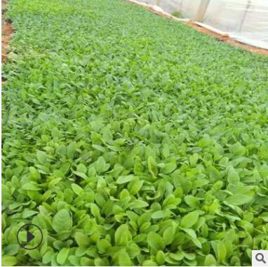 厂家直销 地被鼠尾草 花卉新品上市 大量批发 地被鼠尾草