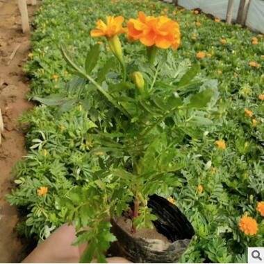 厂家直销草本花卉 孔雀草 观赏花卉绿化阳台 品种齐全 量大