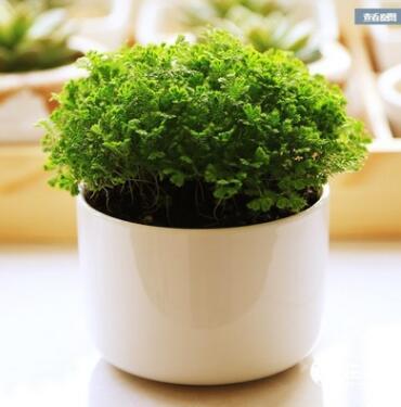 微型蕨类植物盆栽小多肉 幸福草 情人草盆栽绿地珊瑚蕨