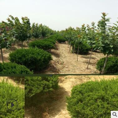 常绿灌木龙柏高干龙柏龙柏球苗圃直供现场看苗