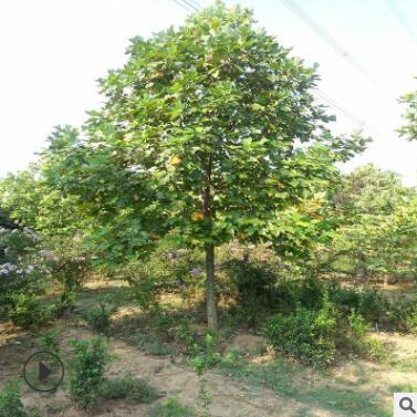 常年供应工程绿化苗鹅掌楸马褂木鹅掌楸树形优规格全