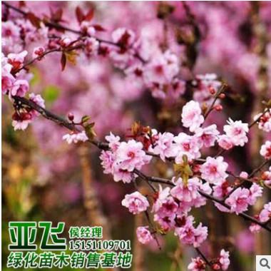 基地大量批发美人梅 绿化工程树木 美人梅树 庭院园林观花植物