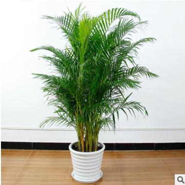 现货绿植盆栽散尾葵大型绿植散尾葵仿真树客厅室内盆景