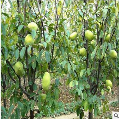 木瓜树苗南方种四季当年结果大青红肉木瓜苗水果新型矮甜木瓜苗