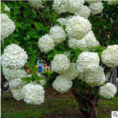 低价销售绿化苗木 绣球花. 日本白绣球 木本绣球 别墅花卉 规格全