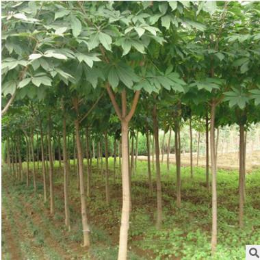 风景工程苗七叶树苗批发 苗木基地直杆七叶树 园林绿化七叶树苗