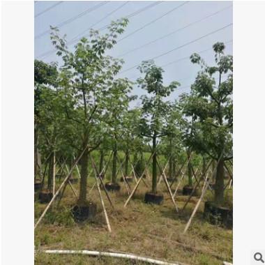 美丽异木棉18-20cm多花行道树假植苗美人树中山基地直接